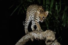 非常罕见的豹猫巴西密林夜  图库摄影