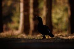 非常罕见的野生松鸡在自然栖所在欧洲森林地 库存图片