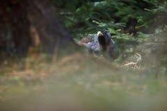 非常罕见的野生松鸡在自然栖所在欧洲森林地 图库摄影