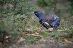 非常罕见的野生松鸡在自然栖所在欧洲森林地 免版税库存图片