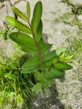 非常美丽的年轻番石榴树 免版税库存图片