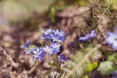 非常美丽的花在木环境里 Hepatica 库存照片