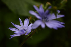 非常美丽的蓝色花 库存照片