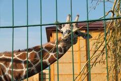 非常美丽的被察觉的长颈鹿 免版税库存图片