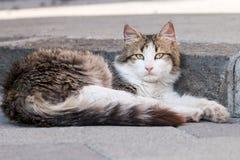 非常美丽的西西里人的猫 免版税图库摄影