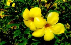 非常美丽的黄色花 库存照片