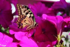 非常美丽的蝴蝶坐喇叭花 库存图片