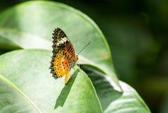非常美好的蝴蝶叶子查找 免版税库存照片