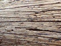 非常老干燥树在密林完全地腐烂与镇压 ?? 免版税图库摄影