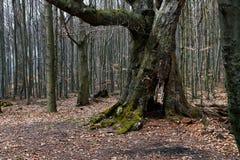 非常老树在森林里 库存图片