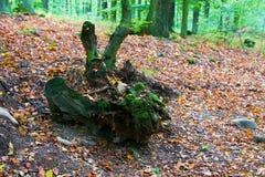 非常老树干 库存照片