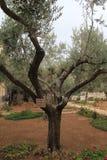 非常老橄榄在Gethsemane庭院里 库存照片