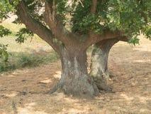 非常老灰树特写镜头 库存图片