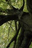 非常老结构树 免版税库存图片