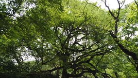非常老罗望子树 免版税库存图片