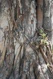 非常老道树树干 库存照片