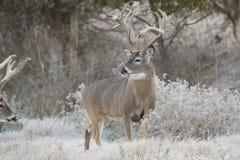 非常老非典型的白尾鹿大型装配架在一个冷淡的早晨 免版税库存图片