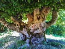 非常老结构树 库存图片