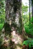 非常耸立在新的Zealnd的thre土地上的高大的树木 免版税库存照片