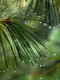 非常背景美丽的绿色针照片杉木 图库摄影