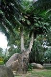 非常苏铁科的植物老结构树 库存图片