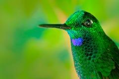 非常详细的画象hummingbirdGreen被加冠的精采, Heliodoxa jacula,有深绿背景,哥斯达黎加 动物 库存照片