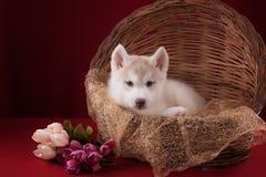 非常逗人喜爱的小狗爱斯基摩在演播室与 库存照片