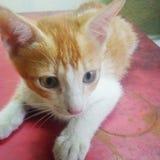 非常逗人喜爱的小猫 库存照片