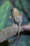 非常逗人喜爱的小猿侏儒 免版税库存图片