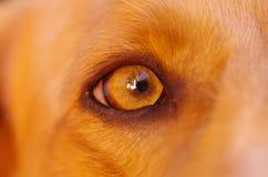 非常逗人喜爱的猎犬狗,美好的棕色颜色的特写镜头眼睛,看从外形角度 库存照片