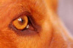 非常逗人喜爱的猎犬狗,美好的棕色颜色的特写镜头眼睛,看从外形角度 免版税图库摄影