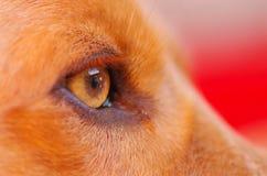 非常逗人喜爱的猎犬狗,美好的棕色颜色的特写镜头眼睛,看从外形角度 免版税库存图片