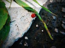 非常逗人喜爱的瓢虫和Beuatiful 库存图片