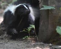 非常逗人喜爱的黑白臭鼬本质上 库存照片
