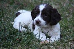 非常逗人喜爱的年轻肝脏和白色工作键入英国斯伯林格西班牙猎狗宠物gundog小狗 库存照片