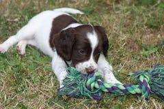 非常逗人喜爱的年轻肝脏和白色工作键入英国斯伯林格西班牙猎狗宠物gundog小狗 免版税库存照片