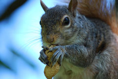 非常饥饿的灰鼠用花生 免版税库存照片