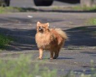 非常骄傲的Pomeranian狗 免版税库存图片