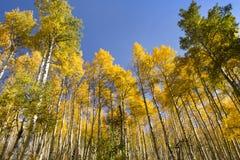 非常高金黄秋天亚斯本树在Vail科罗拉多 免版税库存照片