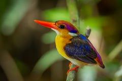 非常紧密矮小的翠鸟 库存照片