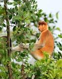 非常轻松的长鼻猴 免版税库存图片