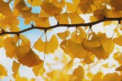 非常黄色gingo叶子 免版税库存图片