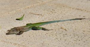 非本土巨人Ameiva蜥蜴 免版税库存图片