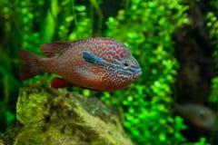 非洲丽鱼科鱼 库存照片