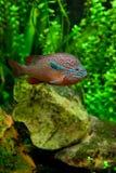 非洲丽鱼科鱼 库存图片