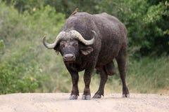 非洲人回到buffelo他的oxpecker 免版税库存图片