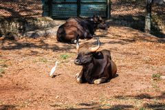 非洲人或Cape Buffalo、北美野牛北美野牛北美野牛和苍鹭在特里凡德琅,特里凡得琅动物园喀拉拉印度 免版税库存照片