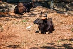 非洲人或Cape Buffalo、北美野牛北美野牛北美野牛和苍鹭在特里凡德琅,特里凡得琅动物园喀拉拉印度 免版税库存图片