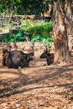 非洲人或Cape Buffalo,北美野牛北美野牛北美野牛在特里凡德琅,特里凡得琅动物园喀拉拉印度 免版税库存照片
