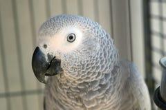 非洲人般的灰色刚果鹦鹉 免版税库存图片